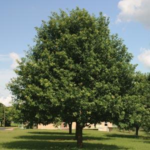Mexican Oak Quercus polymorpha